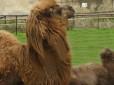 Alì il piccolo di cammello nato allo Zoo di Napoli